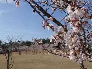 せら夢公園のソメイヨシノ